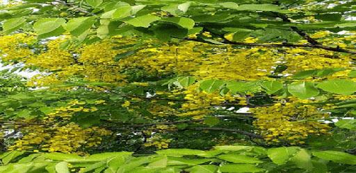 Yellow Flowers Tree LWP apk