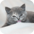 Cats and Kittens Wallpapers HD Icon