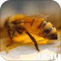 4K Honey Bee Video Live Wallpapers Icon