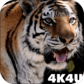 4K Tiger Video Wallpaper Icon