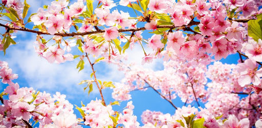 Sakura blossoms wallpaper Japanese Garden apk