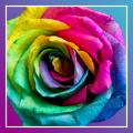 Roses PRO live wallpaper Icon