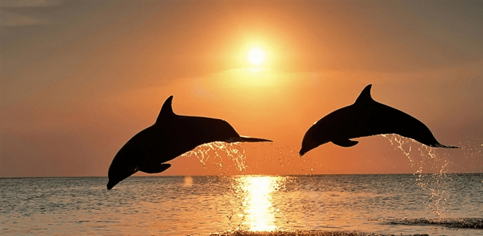 Diving Dolphins Live Wallpaper apk