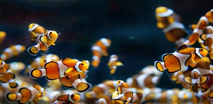 Clown Fish HD Wallpapers apk