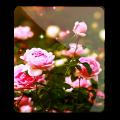 Flower Roses Wallpaper Icon