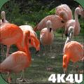4K Flamingo Video Live Wallpapers Icon