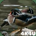 4K Colorful Ducks Video Live Wallpaper Icon