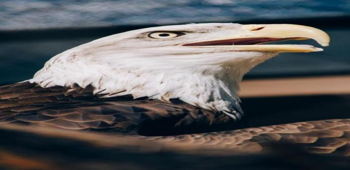 Eagle  Wallpaper apk