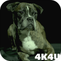 4K Dogs Slow-mo Video Live Wallpaper Icon