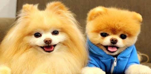 Pomeranian Dog Wallpapers HD apk