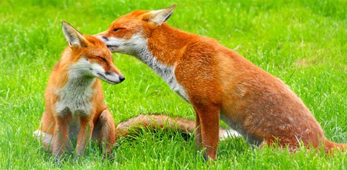 Foxes Live Wallpaper apk