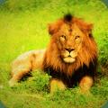Lion Wallpaper Best HD Icon