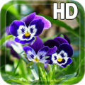 Pansy flowers Live Wallpaper Icon