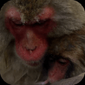 Snow Monkeys Video Wallpaper Icon