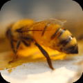 Honey Bees 4K Video Wallpaper Icon