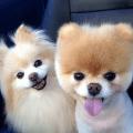 Pomeranian Dog Wallpapers HD Icon