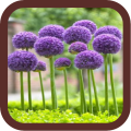 Allium Flowers Beauty Icon