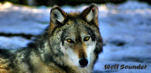Wolf Sounds - Wolf Howls and Growls apk