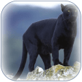 Panther Wallpaper Icon