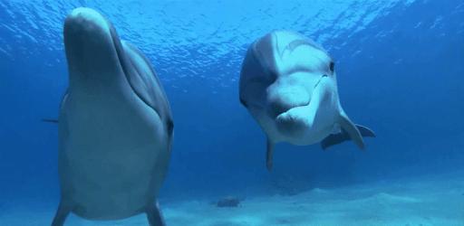 Dolphins Video Live Wallpaper apk
