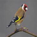 Goldfinch Icon