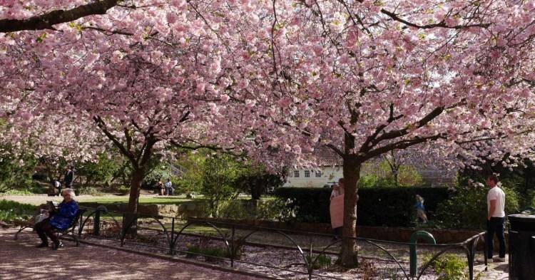 [瑞典櫻花季] 四月哥德堡、斯德哥爾摩賞櫻景點
