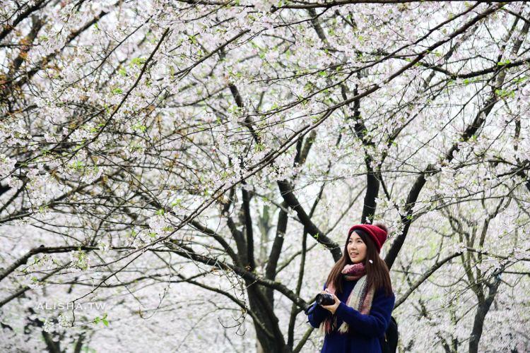 武漢|東湖櫻園 世界三大賞櫻勝地之一 相遇在白櫻飛雪的季節