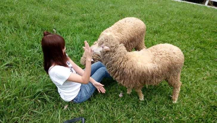 20190422140828 40 - 熱血採訪 [桃園旅遊]綠光森林綿羊牧場 一泊二食 親近羊群擁抱山林 被施了快樂魔法的森林牧場