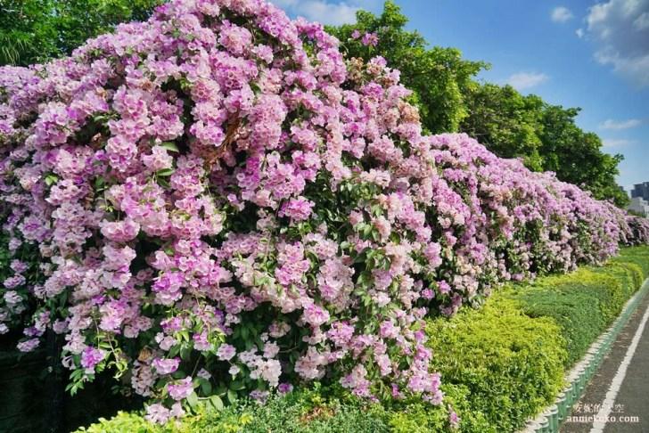 20191018164217 91 - [泰山秘境 蒜香藤花海 ]百尺紫色瀑布超夢幻  花期僅有一周 想拍趁現在
