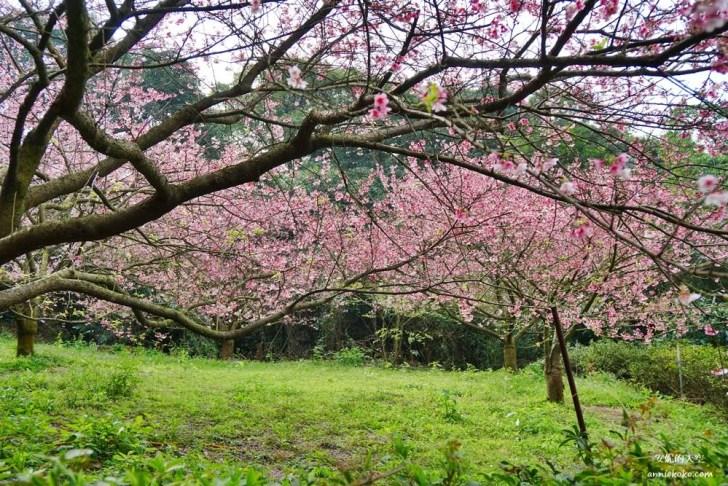 20200125230040 46 - [台北賞櫻景點]淡水天元宮 粉紅三色櫻渲染山城 雄偉天元宮與櫻花的溫柔對話