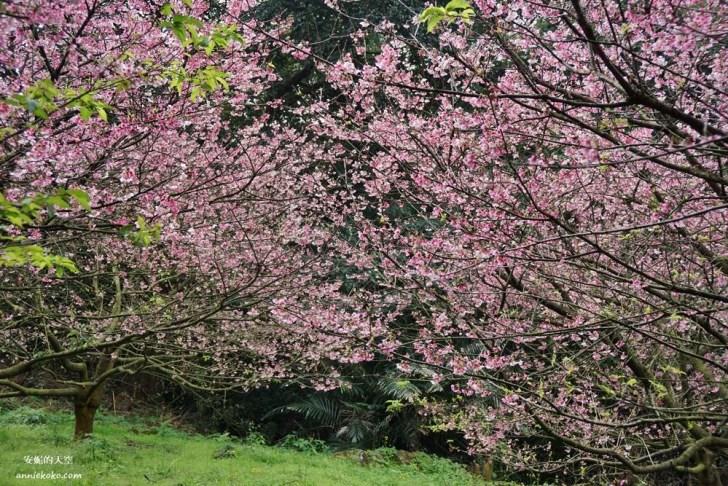 20200125230053 44 - [台北賞櫻景點]淡水天元宮 粉紅三色櫻渲染山城 雄偉天元宮與櫻花的溫柔對話