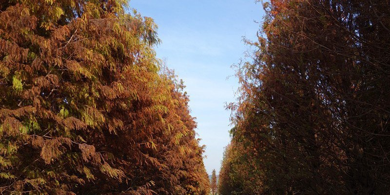 大村落羽松 | 大村景點,獨佔一大片美麗寧靜落羽松林,隱身田野間的整片落羽松。