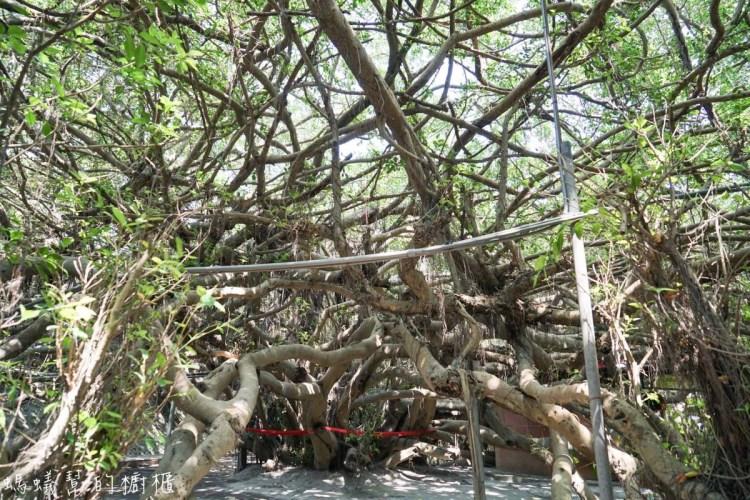彰化景點竹塘九龍大榕公 | 一樹成林!一睹全台最大榕樹公壯闊綿延,近西螺大橋舊橋。