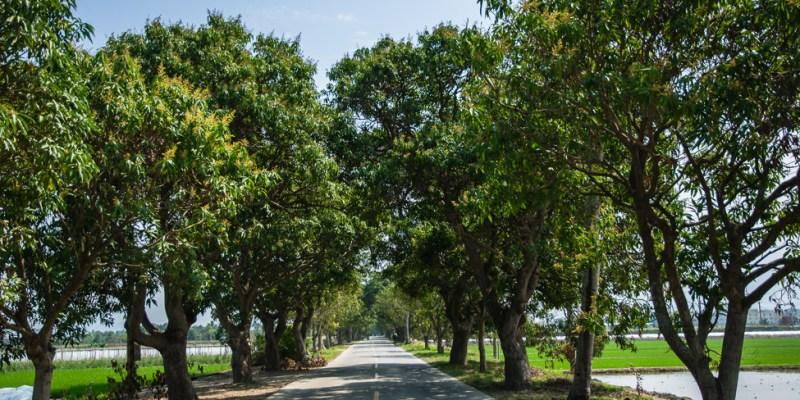 台南‧白河 玉豐綠色隧道,是一整排老欉芒果樹