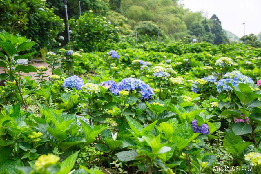 |台北景點|陽明山竹子湖水車寮步道,高家繡球花田