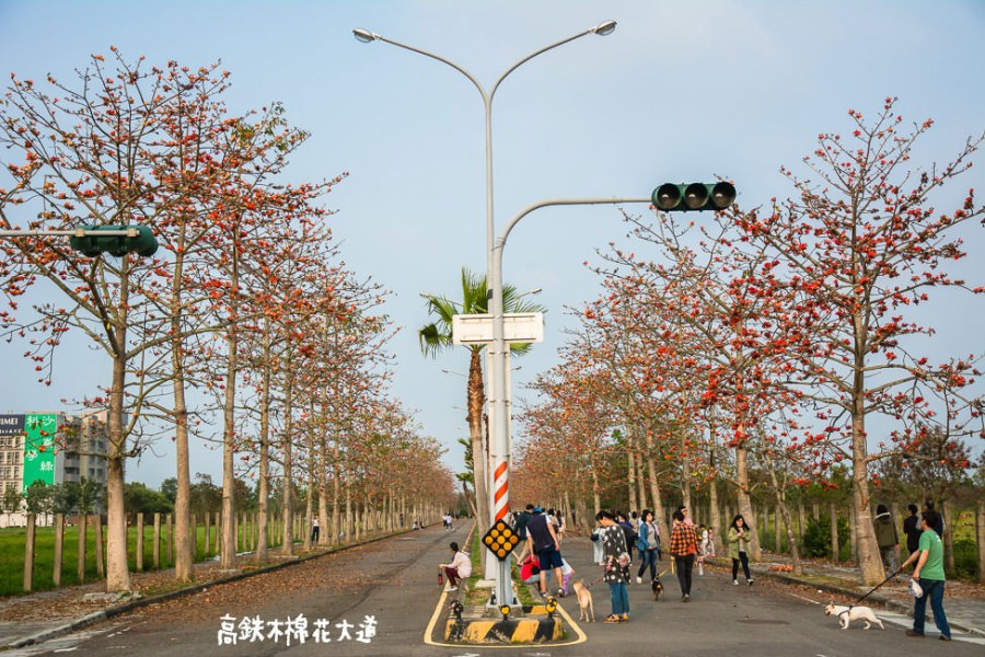 |台南景點|歸仁十五路,高鐵木棉花大道