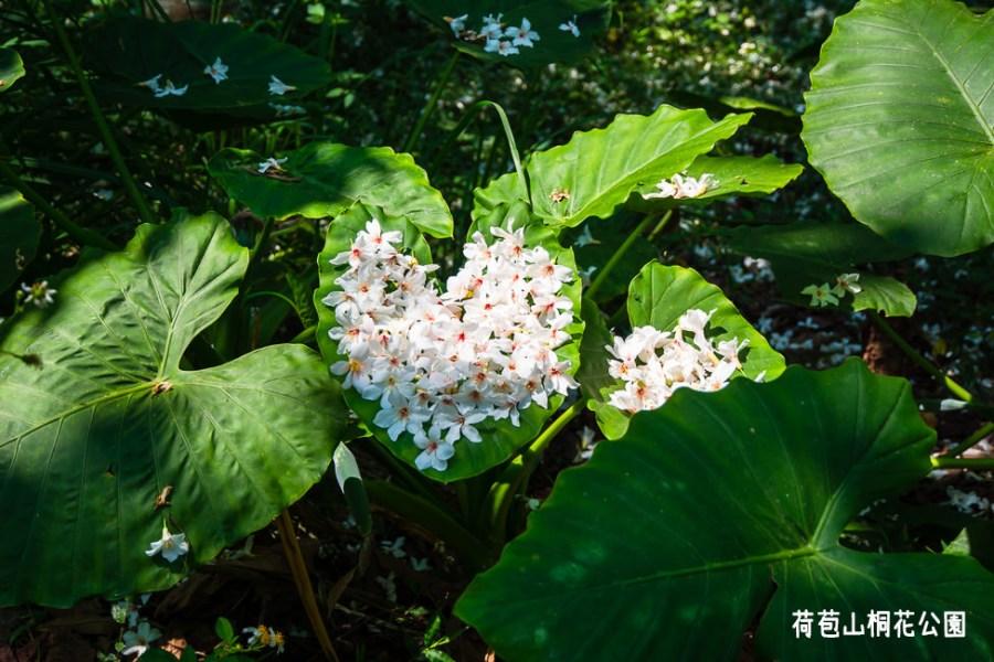  雲林景點 荷苞山桐花公園,讓我們一桐賞花去