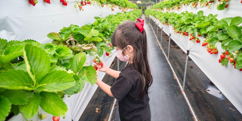  苗栗景點 六合高架牛奶草莓農場,鮮嫩多汁又香氣十足的草莓,宣告2020年大湖草莓季開跑啦