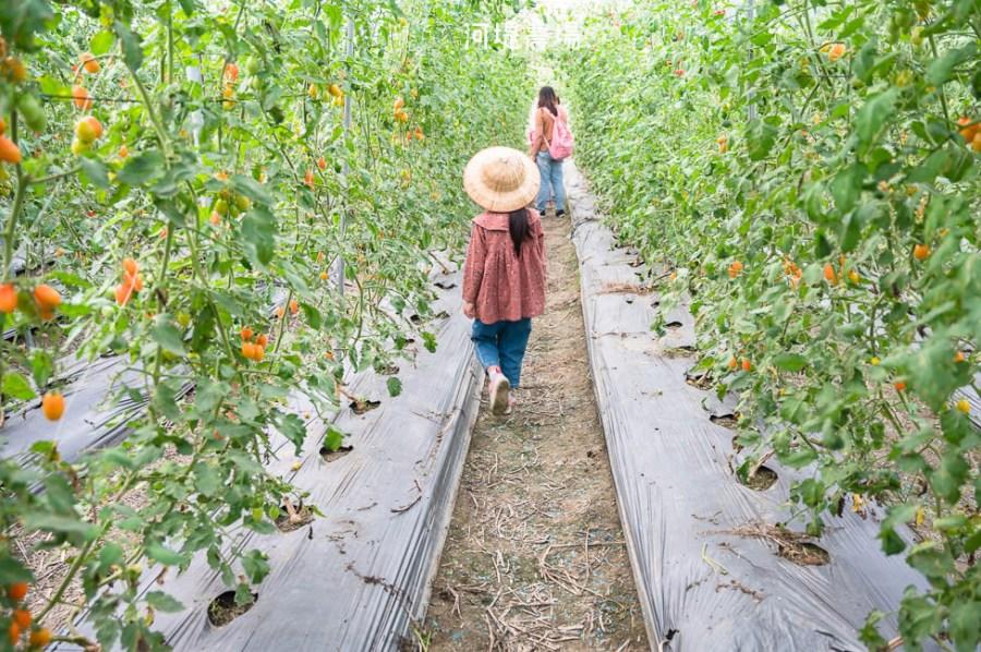  高雄景點 河堤番茄農場,冬季限定橙蜜番茄開採中!農場內還有大草皮、瑜珈球可以玩,適合親子同遊
