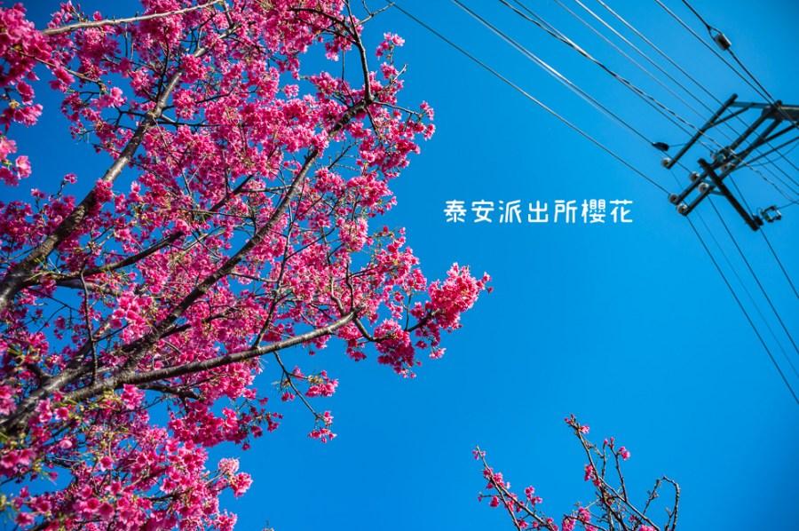  台中景點 2021年泰安櫻花季,全台最美的泰安派出所,粉紅櫻花盛開中
