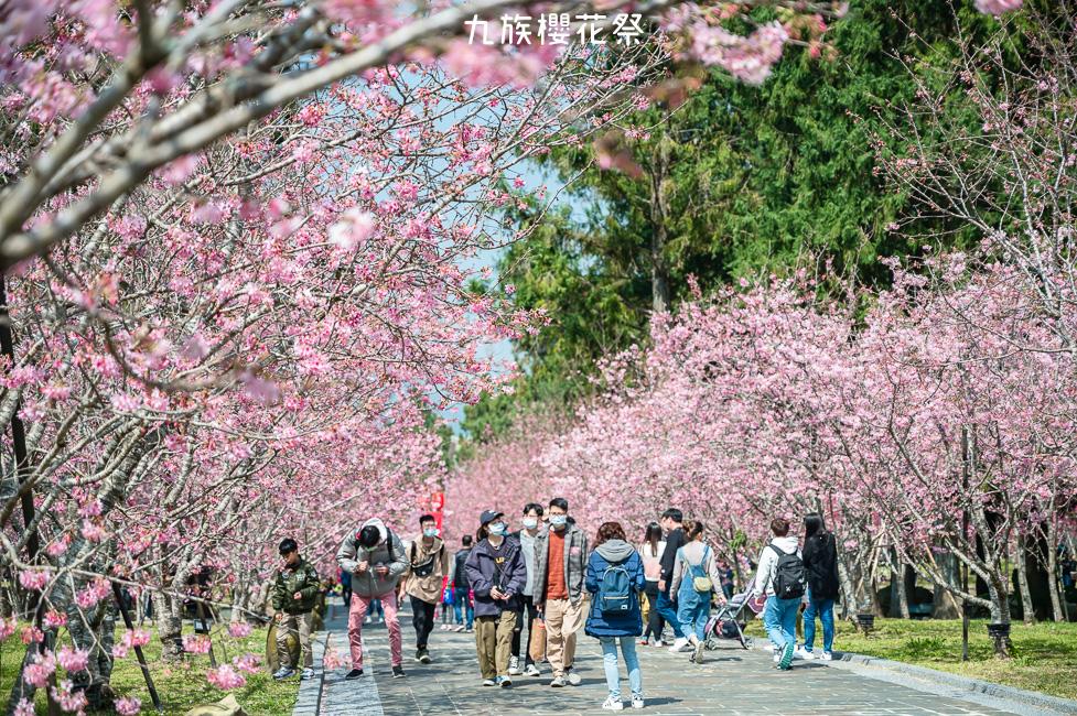 |南投景點|2021九族櫻花祭,歷年難得一見4種品種5000棵櫻花齊綻放,讓你一秒來到日本