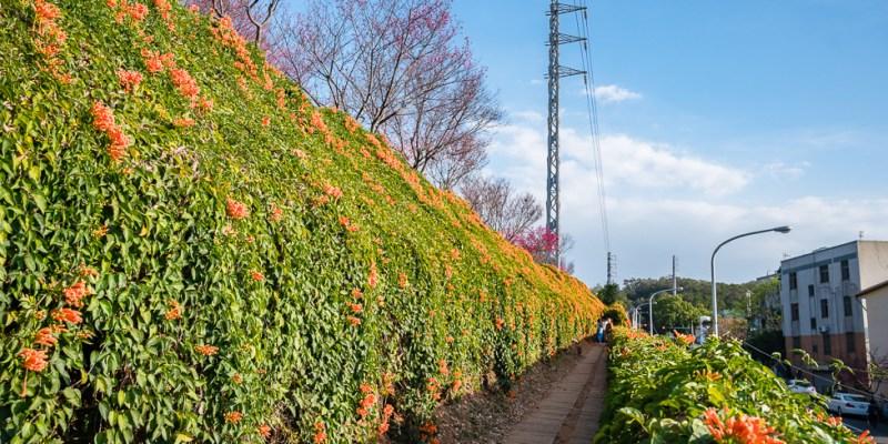 |苗栗景點|銅鑼環保公園,季節限定炮仗花瀑布、夢幻櫻花步道