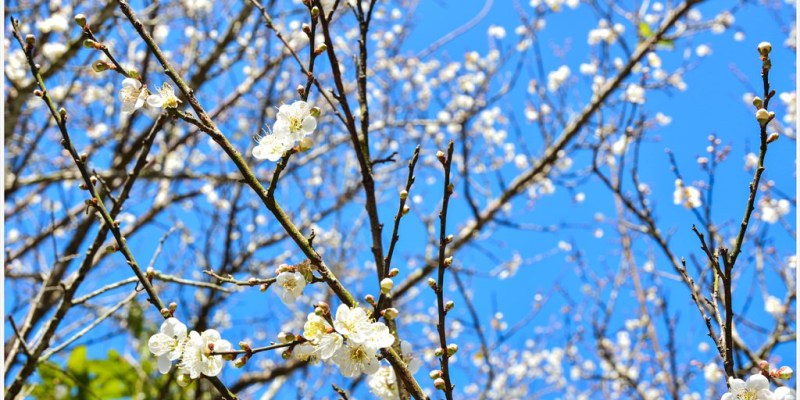 Tainan 台南‧楠西 飄起冬雪*讓我們一起到梅嶺賞2015年的第一場梅花吧