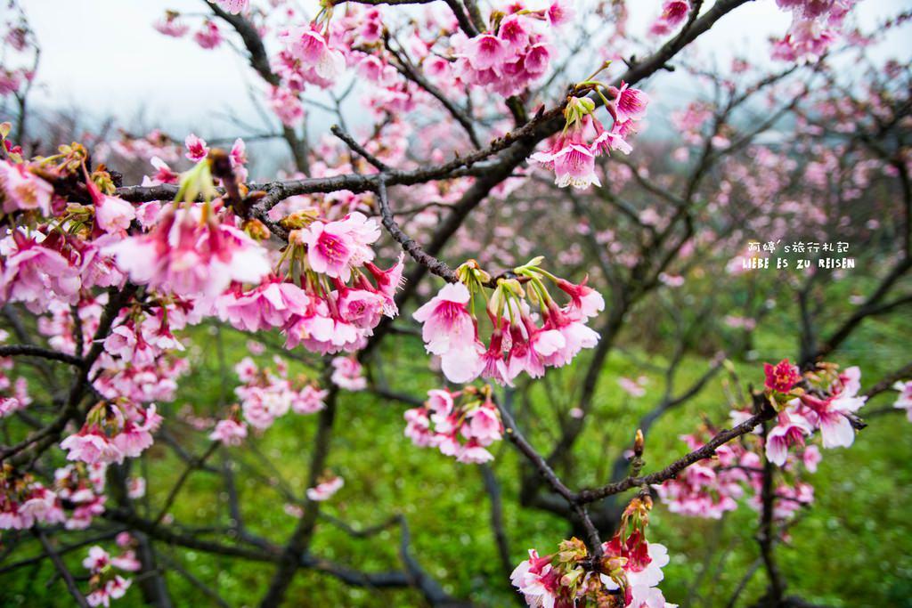  台北‧北投 雪融了,花開好了,平菁街櫻花正在等著你
