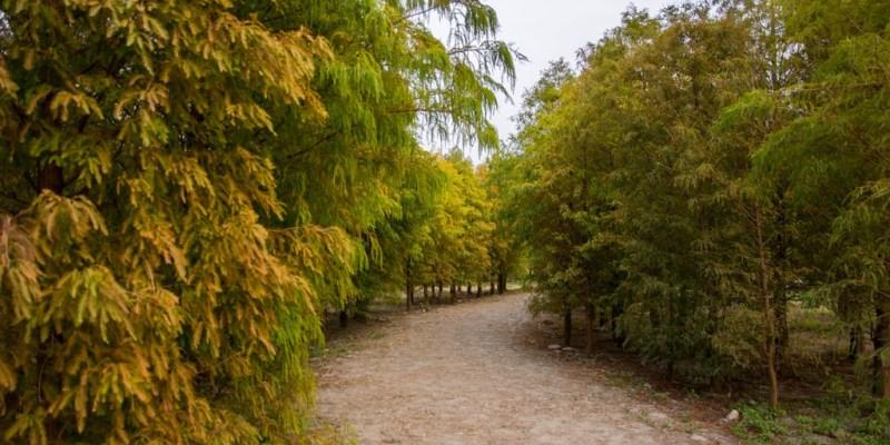 Taichung|台中‧后里|2015年季節限定美景,泰安國小旁落羽松,也是外拍的好地方