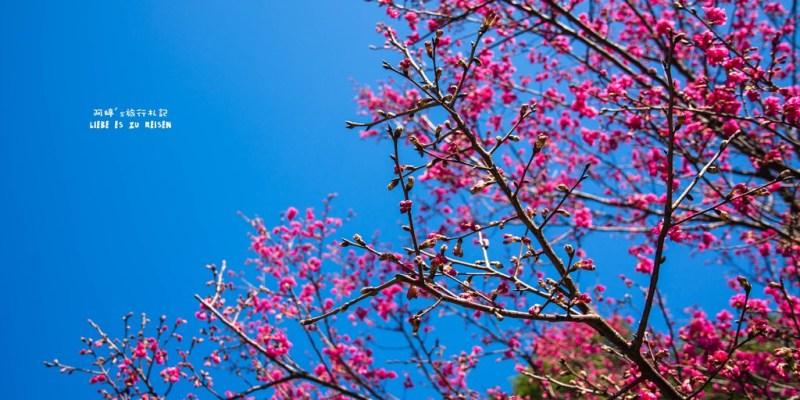 |苗栗‧苑裡|爆藍天空,讓我們一起到石鎮里櫻花大道賞櫻吧!