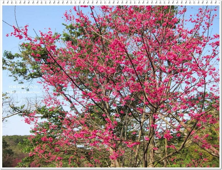  苗栗‧苑裡 春神到!來石鎮里的櫻花大道賞櫻花吧~還有李花和波斯菊等著大家來觀賞喔!