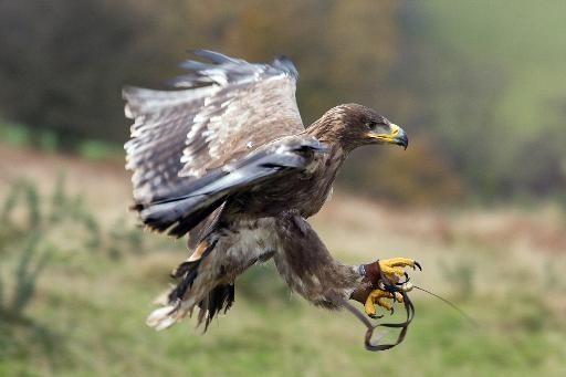 l aigle rabaisse ses ailes face aux