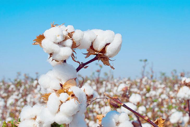Un Coton Loin Dtre Tout Blanc La Croix