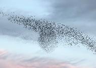 A flight of starlings